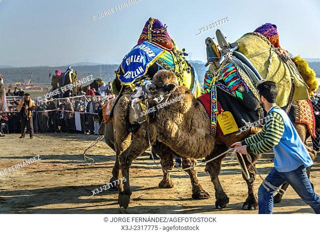 Camel wrestling league, Ayvalik, Aegean region, Turkey
