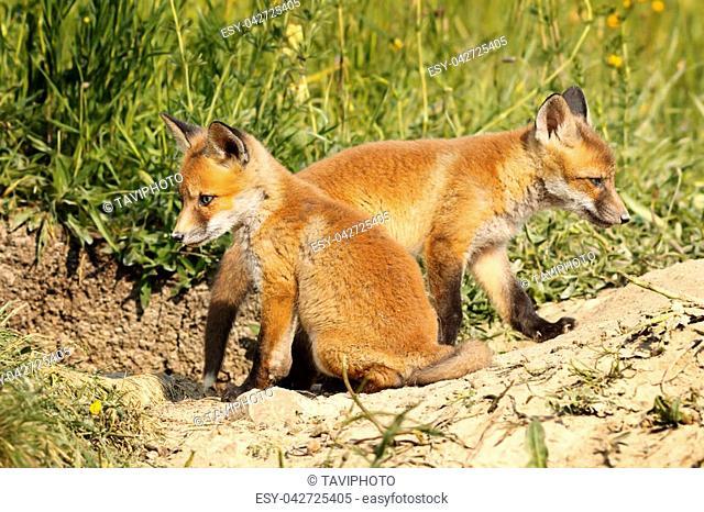 two eurasian red fox cubs in natural habitat ( Vulpes )