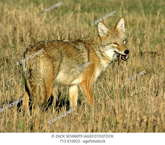 A success hunt for this coyote