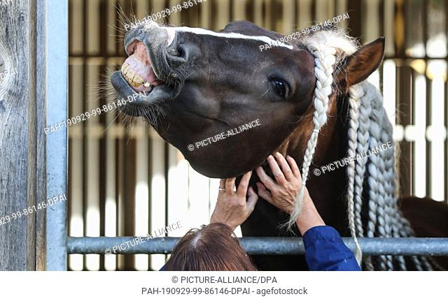 dpatop - 29 September 2019, Baden-Wuerttemberg, Gomadingen-Marbach: A visitor crawls a horse on his neck in the main and country stud Marbach