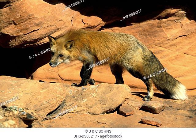 American Red Fox,Vulpus fulva,Bryce Canyon,Utah,USA,adult male on rock