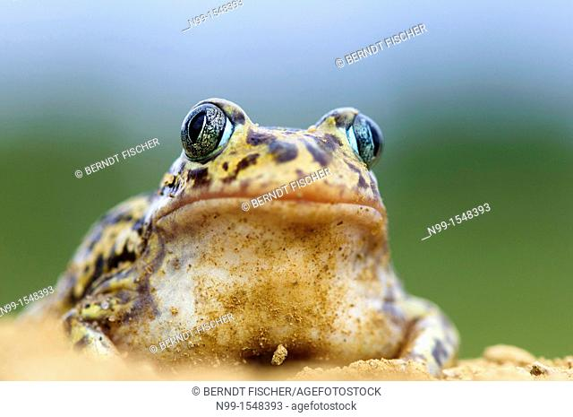 Western spadefoot Pelobates cultripes, sitting in sandy ground, Extremadura, Spain