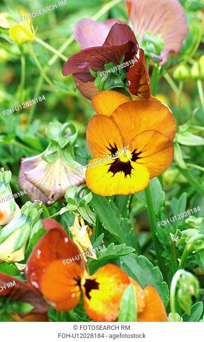 Close-up of orange violas