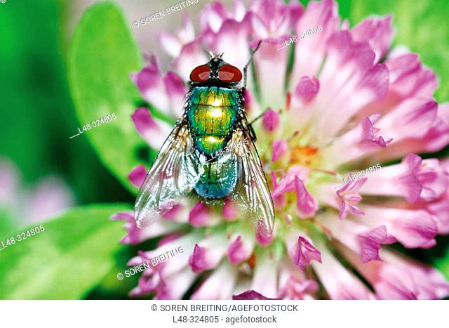 Green bottlefly (a blow fly) on flowers of red clover (Trifolium pratense). Denmark, Scandinavia. Europe