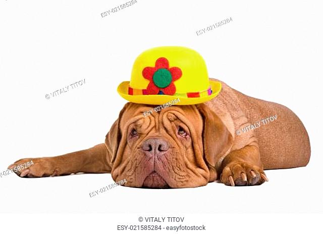 Dog wearing yellow bowler (derby) hat