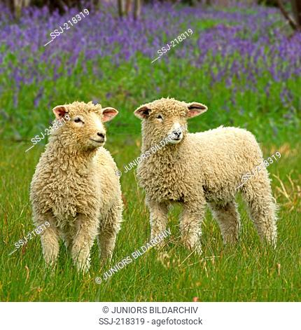 Cotswold Sheep. Two lambs on a pasture with flowering Harebells in background. England