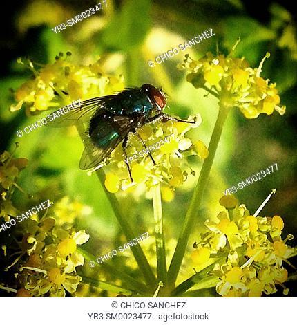 A green fly perches on a yellow flower in Prado del Rey, Sierra de Cadiz, Spain