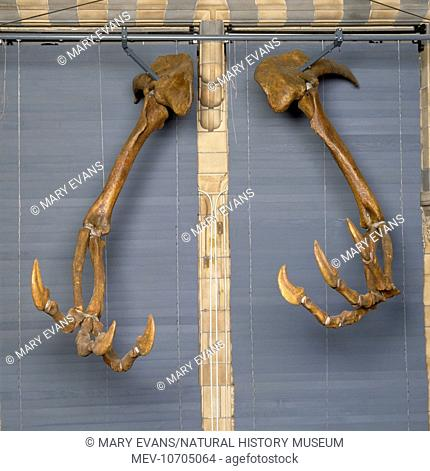 A pair of arms complete with 30 cm claws on each hand once belonging to Deinocheirus, an Upper Cretactous carnivorous dinosaur