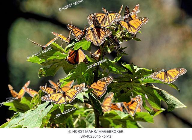 Monarch butterfly (Danaus plexippus), winter quarters, El Rosario, Monarch Butterfly Biosphere Reserve, Mariposa Monarca, Angangueo, Michoacán, Mexico