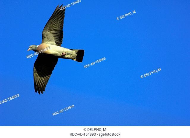 Wood Pigeon North Rhine-Westphalia Germany Columba palumbus
