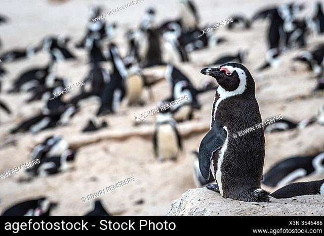 African penguin (Spheniscus demersus), also known as the Cape penguin, and South African penguin , Simons Town - Cape Town , South Africa