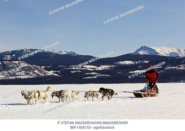 Man, musher running, driving a dog sled, team of sled dogs, Alaskan Huskies, mountains behind, frozen Lake Laberge, Yukon Territory, Canada