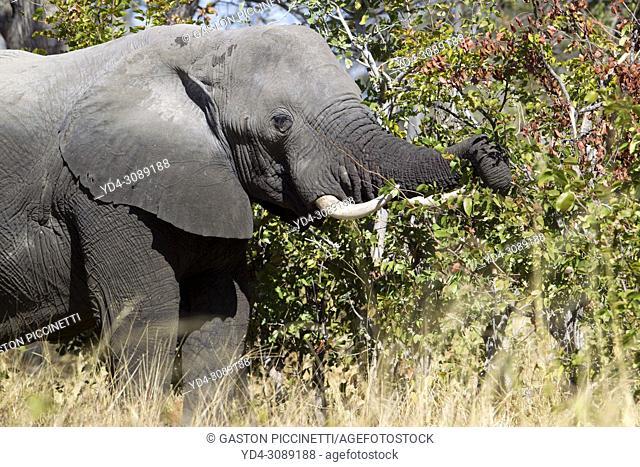 African Elephant (Loxodonta africana), in the Third Bridge Camp, Okavango Delta, Moremi Game Reserve, Botswana