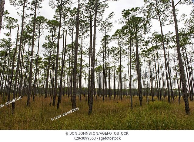Pine woodland at the edge of a marsh, Big Branch NWR, Lacombe, Louisiana, USA