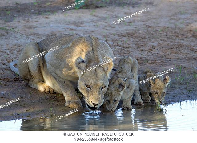 African lion (Panthera leo) - Female and two cubs, in the waterhole, Kgalagadi Transfrontier Park, Kalahari desert, South Africa/Botswana