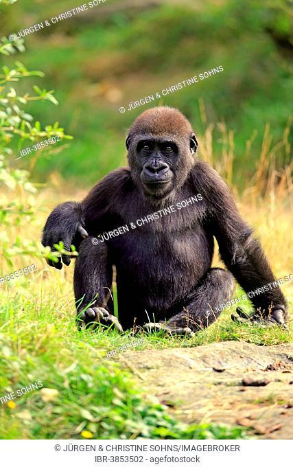 Western Lowland Gorilla (Gorilla gorilla gorilla), young, Apeldoorn, Netherlands