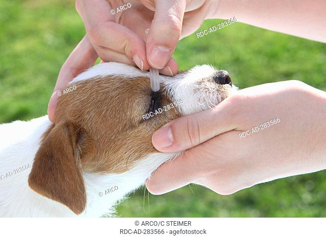 Parson Russell Terrier, puppy, getting ophthalmic ointment / Parson Jack Russell Terrier