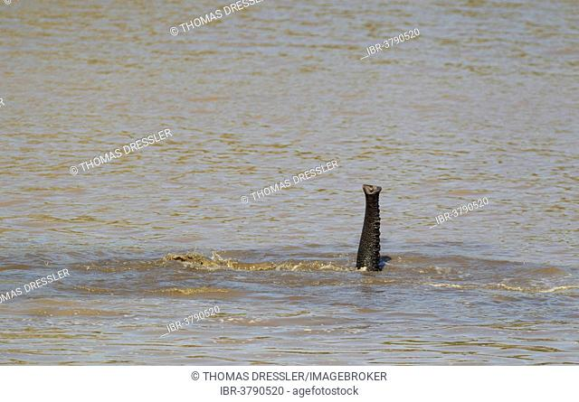 African Elephant (Loxodonta africana) bathing in the Shingwedzi River, only the trunk is visible, Kruger National Park, South Africa