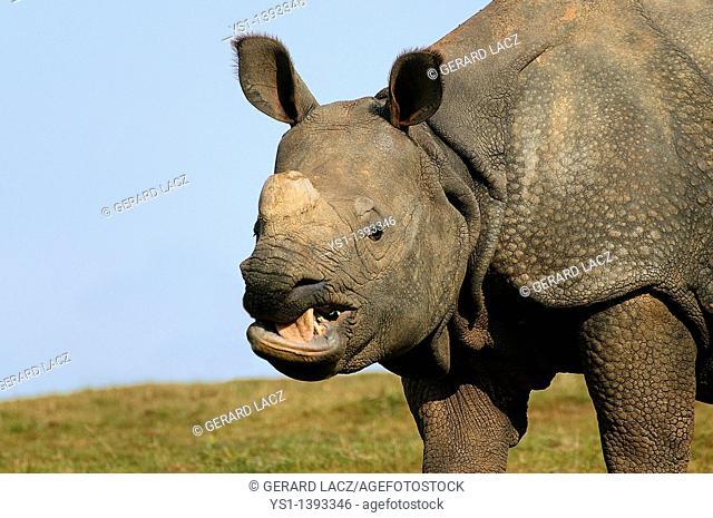Indian Rhinoceros, rhinoceros unicornis, Portrait of Adult