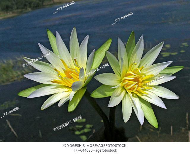 Nymphaea odorata. White Lotus (Water Lilly) flowers in a water pond. Harantale, Pune, Maharashtra, India