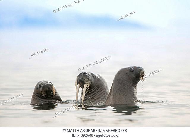 Walruses (Odobenus rosmarus) in the water, Svalbard, Spitsbergen, Norway