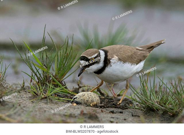 little ringed plover Charadrius dubius, adult at nest with two eggs, Germany, North Rhine-Westphalia