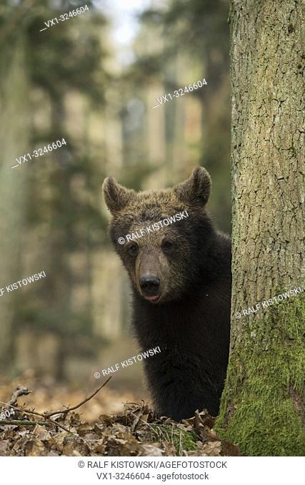 Cute cub of European Brown Bear / Europaeischer Braunbaer (Ursus arctos ) looks quite funny, hides behind a tree