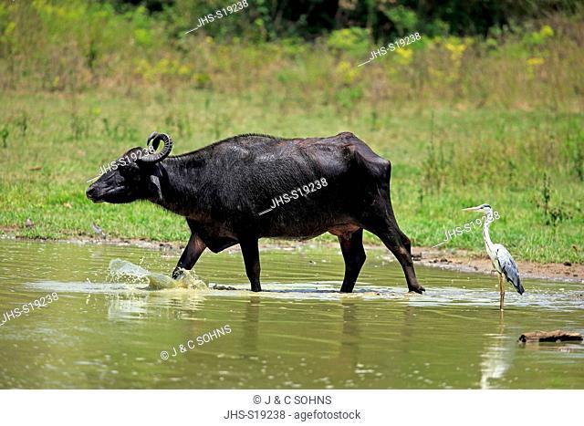 Water Buffalo, (Bubalis bubalis), adult female walking through water, Grey Heron, (Ardea cinerea), Udawalawe Nationalpark, Sri Lanka, Asia