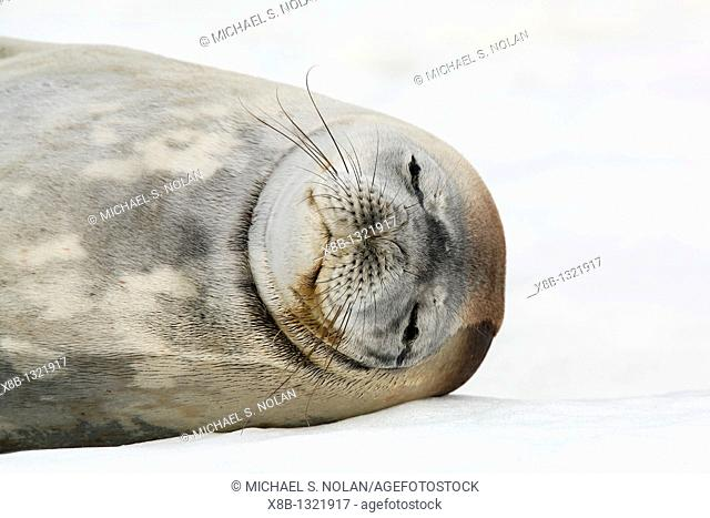 An adult Weddell seal Leptonychotes weddellii hauled out and resting on ice on Petermann Island near the Antarctic Peninsula