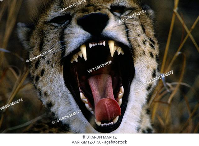 Cheetah, Phinda Game Reserve, KwaZulu Natal, South Africa