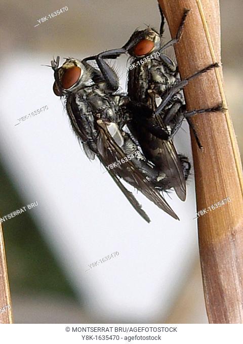 Pair of Sarcophaga red eyed flies mating