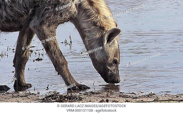 Spotted Hyena, crocuta crocuta, Adult drinking at Water Hole, Moremi Reserve, Okavango Delta in Botswana, Slow motion