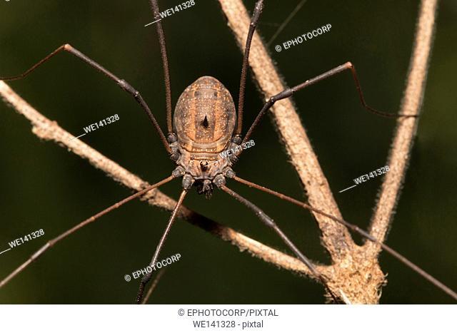 Lynx spider, Harvestman, Mumbai, Maharashtra, India