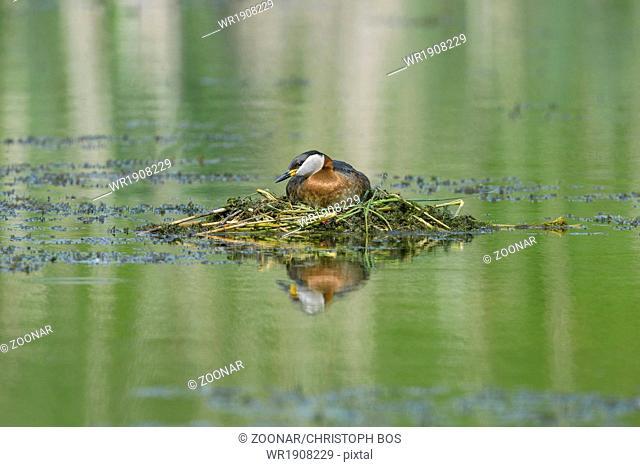 Red-necked Grebe on nest, Podiceps grisegena