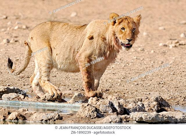 Lion, Panthera leo, Kgalagadi Transfrontier Park, Northern Cape, South Africa