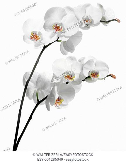 White orchids on white