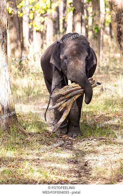 India, Madhya Pradesh, Asian elephant carrying wood at Kanha National Park