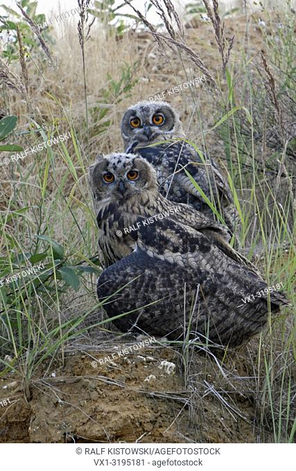 Eurasian Eagle Owls (Bubo bubo), young fledgelings, sitting in the slope of a gravel pit, watching directly, cute, funny, wildife, Europe