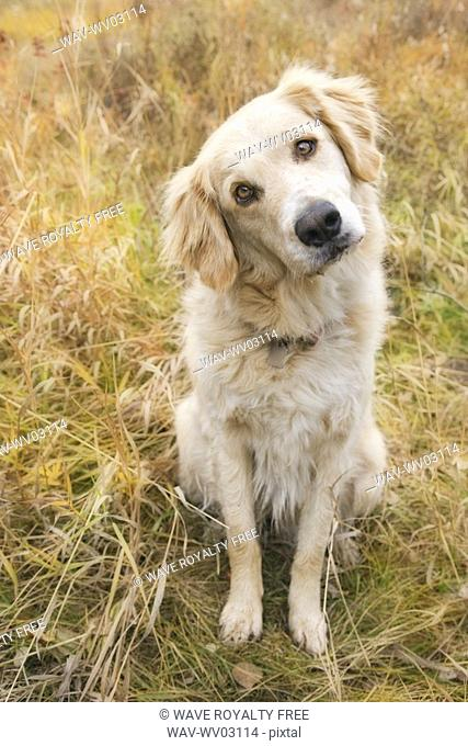 Tan coloured mixed breed dog seated with head cocked to one side, Canada, Alberta