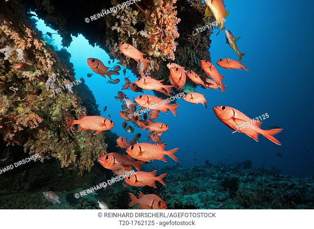 Soldierfishes in Coral Reef, Mypristis sp , Baa Atoll, Indian Ocean, Maldives