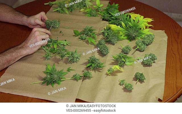 Hands trimming and manicuring harvested marijuana buds on the table