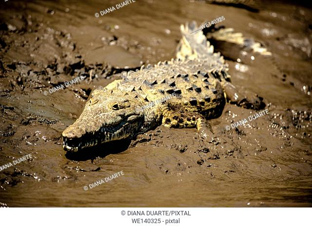 'American crocodile (Crocodylus acutus)'. Although the crocodile has a menacing reputation and certainly should not be provoked