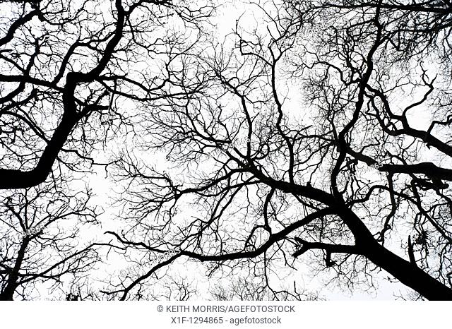 Bare branches of oak trees, winter, powys Wales UK
