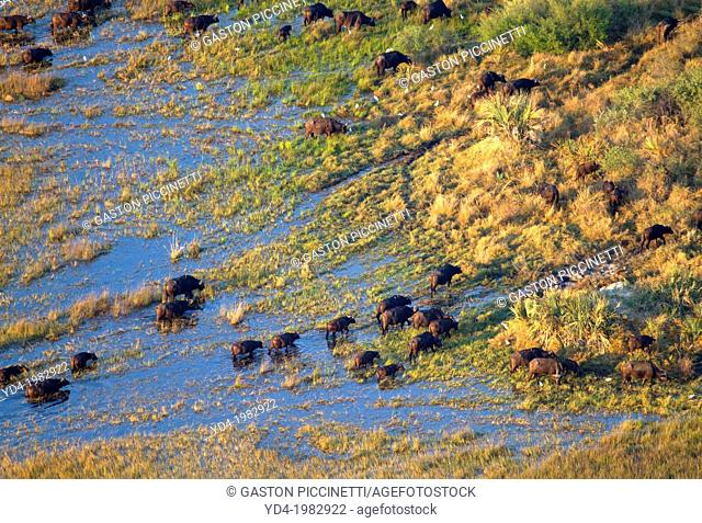 Buffalo (Cyncerus caffer), crossing the water. Aerial View of the Okawango Delta, Botswana