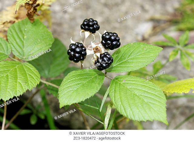 Blackberry, Forest, Chartreuse, Isère, Rhône-Alpes, France