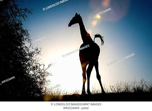 A silhouette of a giraffe, Giraffa camelopardalis, knees bowed inwards, tail up in air