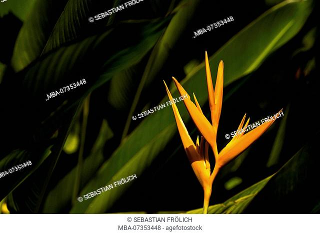 Orange inflorescence of a heliconia