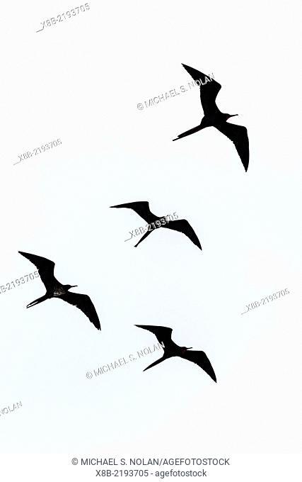 Adult great frigatebirds, Fregata minor, in flight near Isabela Island, Galapagos Islands, Ecuador
