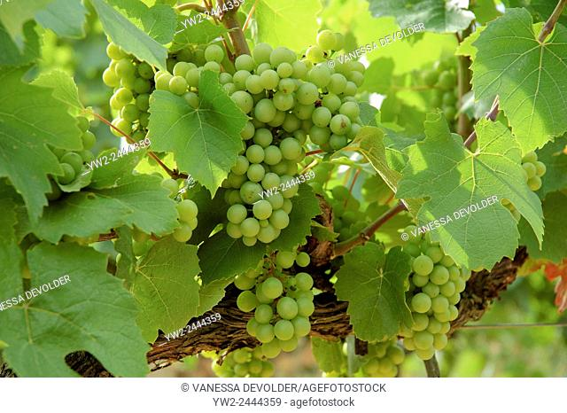Close-up of a vineyard in France near the village Salymes, Ardèche, Rhône-Alpes, Europe
