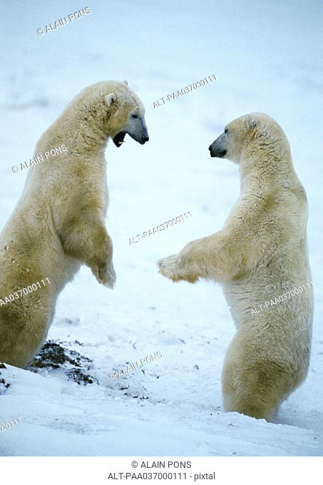 Canada, two polar bears standing up face to face on snow, one with mouth open, full length